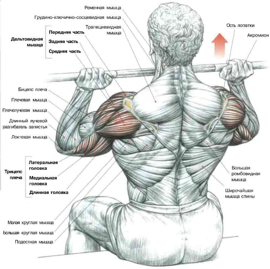 mușchii umărului