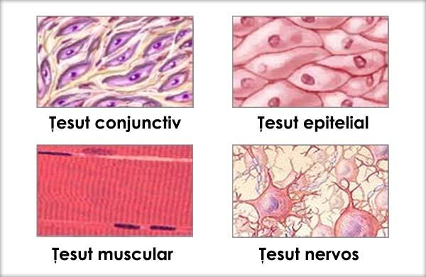 cartilajul este țesut conjunctiv