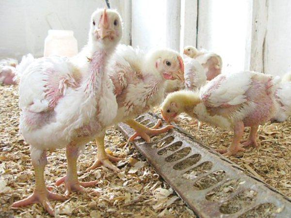 boala articulației păsărilor gel glucozamină condroitină