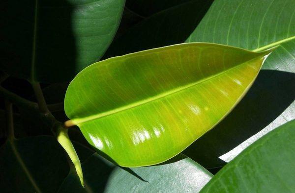 frunze de ficus pentru dureri articulare