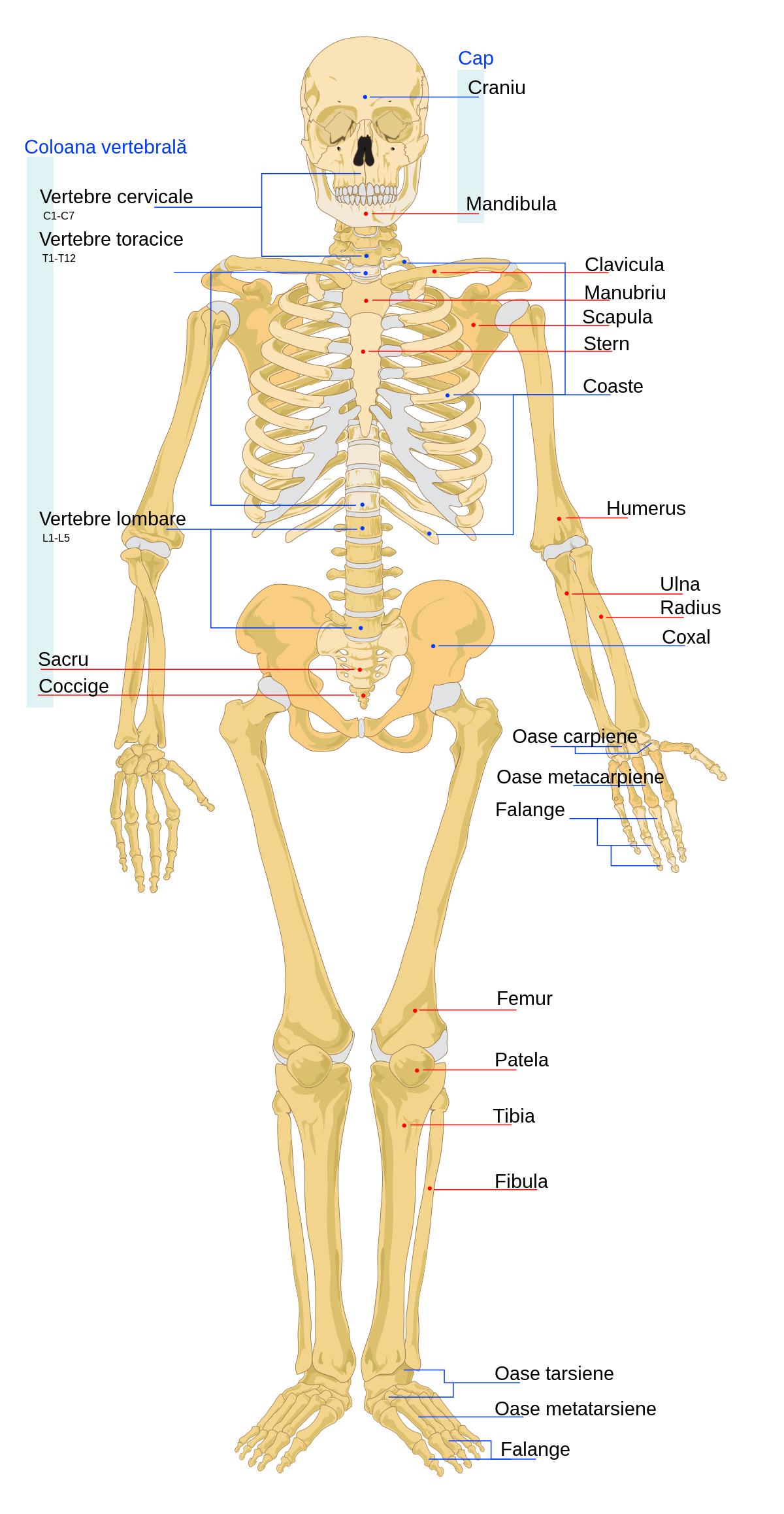 Boala latină a oaselor și articulațiilor face clic pe articulația șoldului cu durere