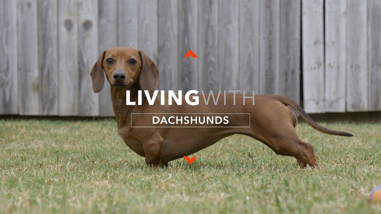 pierderea în greutate dachshund